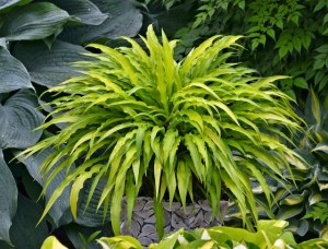 Hosta of the Year: 'Curly Fries'