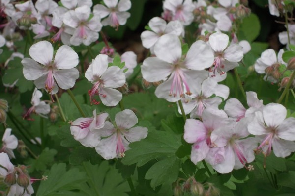 2015 Perennial Of The Year - Geranium Cantabrigiense 'Biokovo'