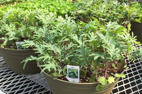 Lettuce & Leafy Green Bowls